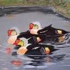 316 Canadian Ducks